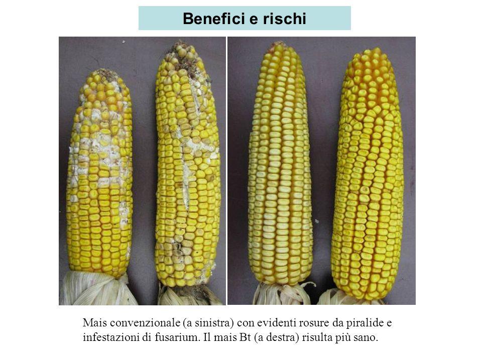Mais convenzionale (a sinistra) con evidenti rosure da piralide e infestazioni di fusarium. Il mais Bt (a destra) risulta più sano. Benefici e rischi