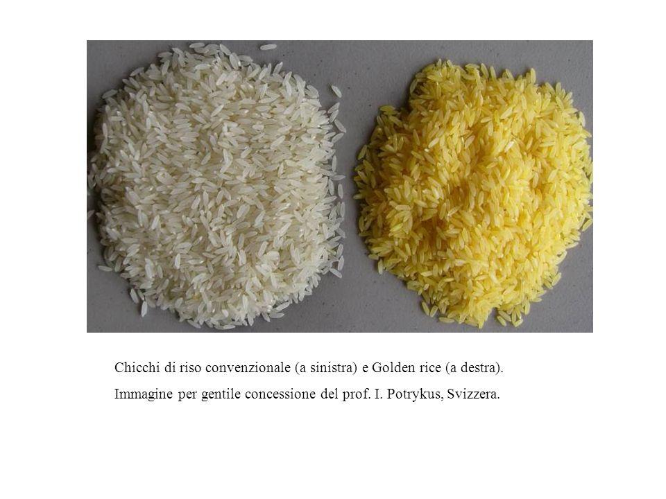 Chicchi di riso convenzionale (a sinistra) e Golden rice (a destra). Immagine per gentile concessione del prof. I. Potrykus, Svizzera.
