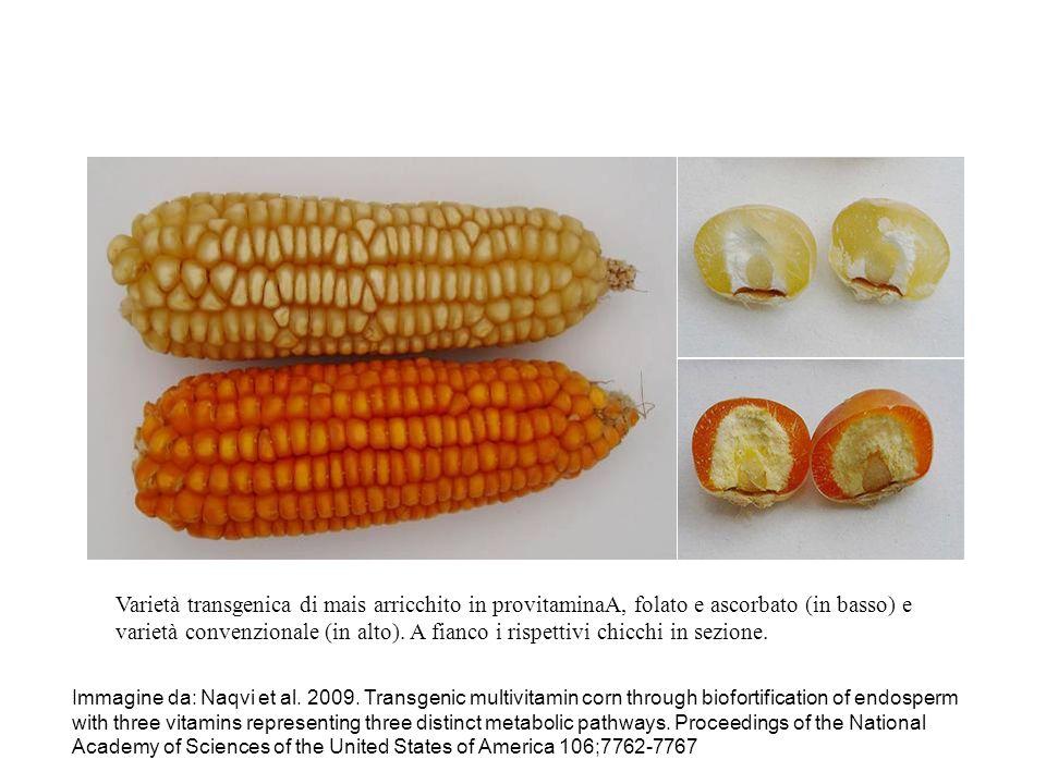 Varietà transgenica di mais arricchito in provitaminaA, folato e ascorbato (in basso) e varietà convenzionale (in alto). A fianco i rispettivi chicchi