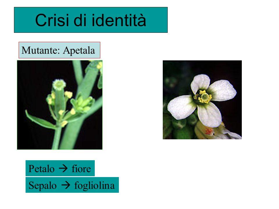 Crisi di identità Petalo fiore Sepalo fogliolina Mutante: Apetala