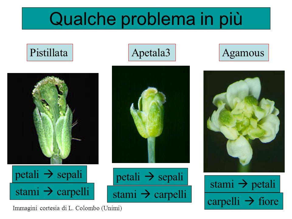 Qualche problema in più Immagini cortesia di L. Colombo (Unimi) Agamous stami petali stami carpelli PistillataApetala3 stami carpelli petali sepali ca