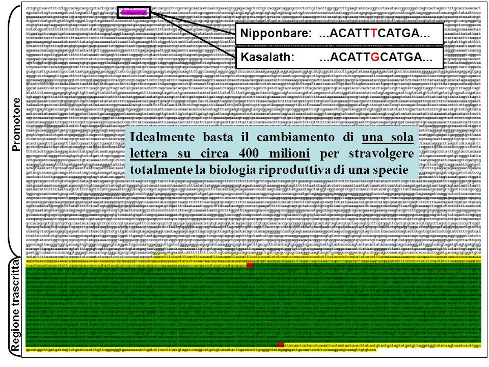 SemiCallo Fig.11.7 Trasformazione di riso con agrobatterio: (a) semi, (b) calli insieme allagrobatterio, (c) calli su terreno selettivo, (d) calli con embrioni somatici in formazione o già sviluppati, (e) plantula trasferita su nuovo mezzo di coltura.