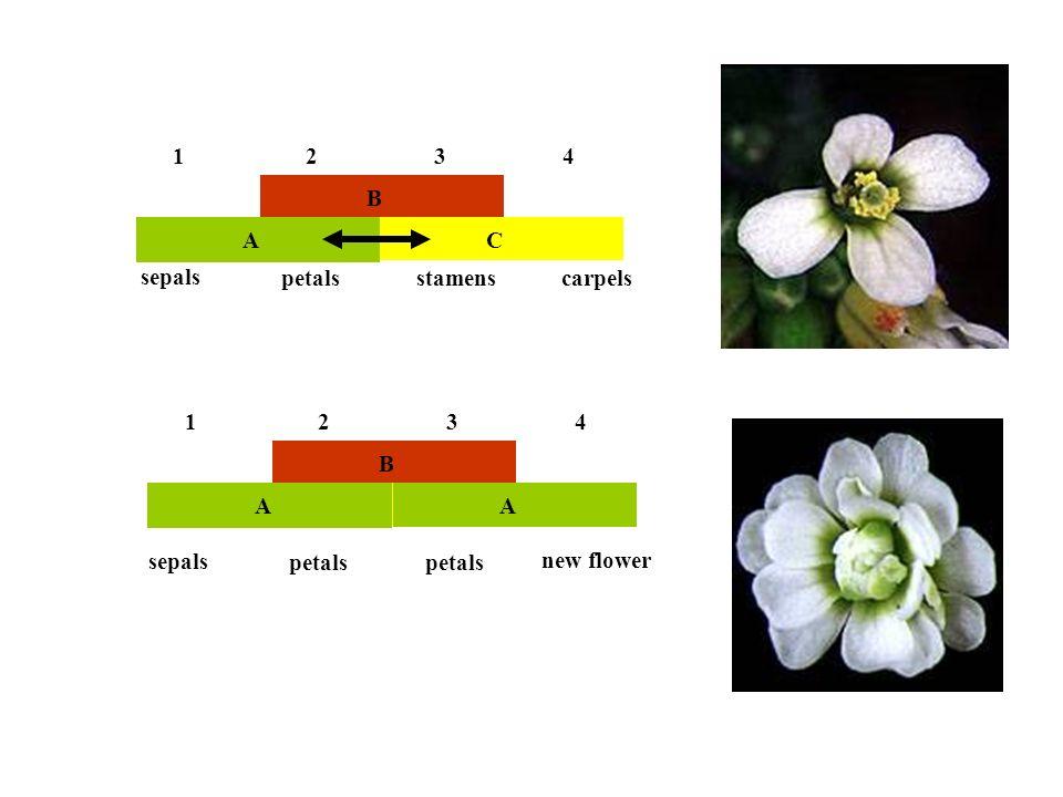 B AC 1234 B AC 1234 new flower sepals petals stamenscarpels sepals petals A