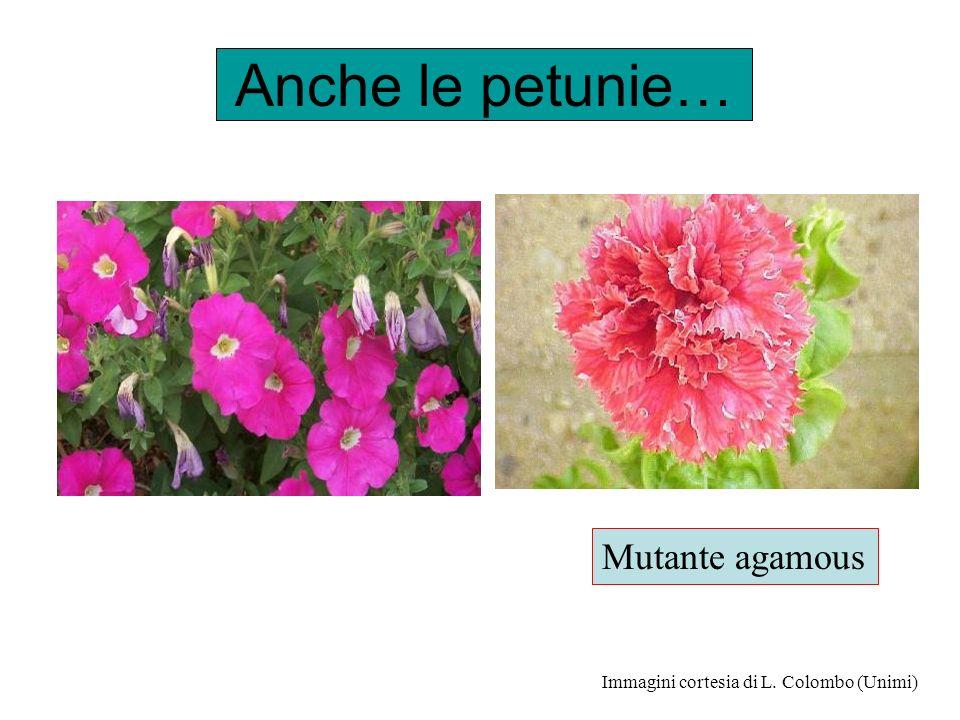 Anche le petunie… Mutante agamous Immagini cortesia di L. Colombo (Unimi)