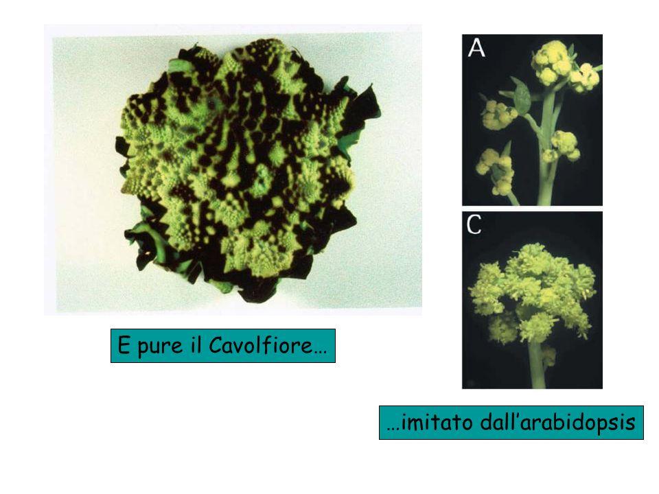 E pure il Cavolfiore… …imitato dallarabidopsis