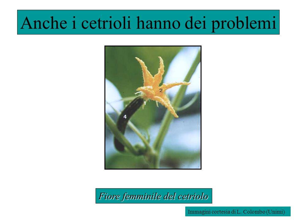 Fiore femminile del cetriolo Anche i cetrioli hanno dei problemi Immagini cortesia di L. Colombo (Unimi)