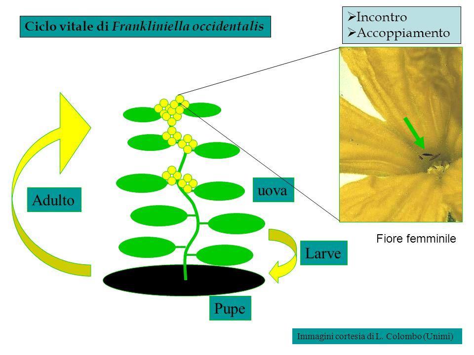 Ciclo vitale di Frankliniella occidentalis Larve uova Pupe Adulto Incontro Accoppiamento Fiore femminile Immagini cortesia di L. Colombo (Unimi)