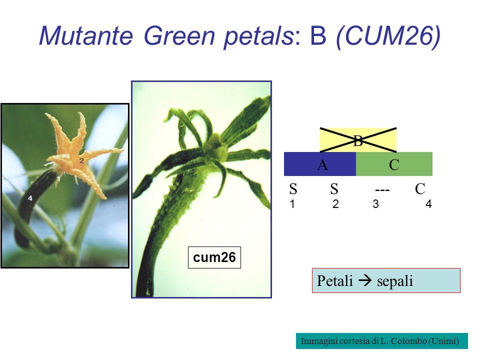 Mutante Green petals: B (CUM26) AC B S S --- C cum26 1 2 3 4 Petali sepali Immagini cortesia di L. Colombo (Unimi)