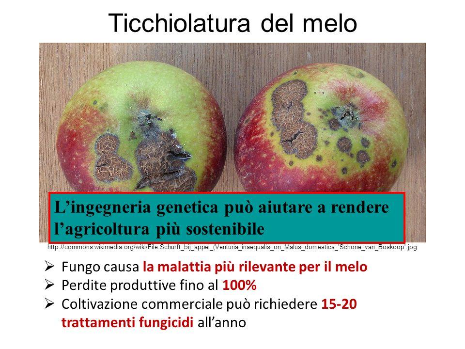 http://commons.wikimedia.org/wiki/File:Schurft_bij_appel_(Venturia_inaequalis_on_Malus_domestica_'Schone_van_Boskoop'.jpg Ticchiolatura del melo Fungo