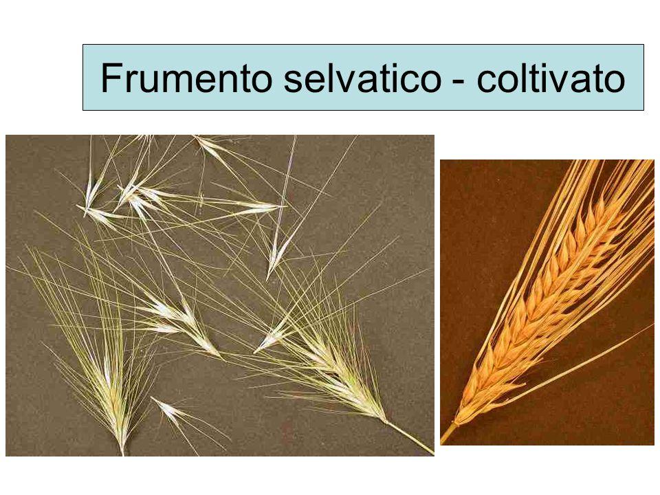 Teosinte – Mais Semi di teosinte Semi di mais i semi si staccano facilmente Per staccare i semi occorre unazione vigorosa