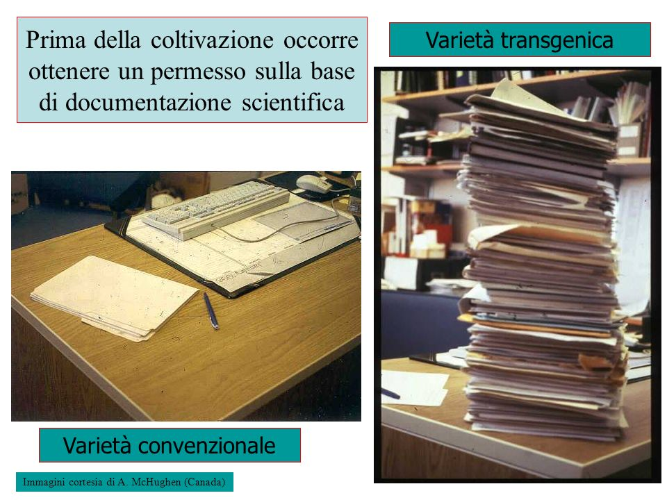Prima della coltivazione occorre ottenere un permesso sulla base di documentazione scientifica Varietà convenzionale Varietà transgenica Immagini cort
