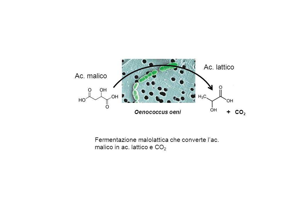Oenococcus oeni Ac. malico Fermentazione malolattica che converte lac. malico in ac. lattico e CO 2 Ac. lattico CO 2 +