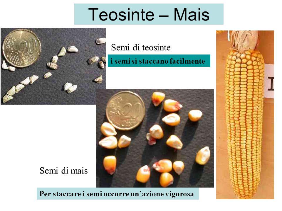 Silique di Arabidopsis wt (sopra) e del mutante seedstick (sotto).