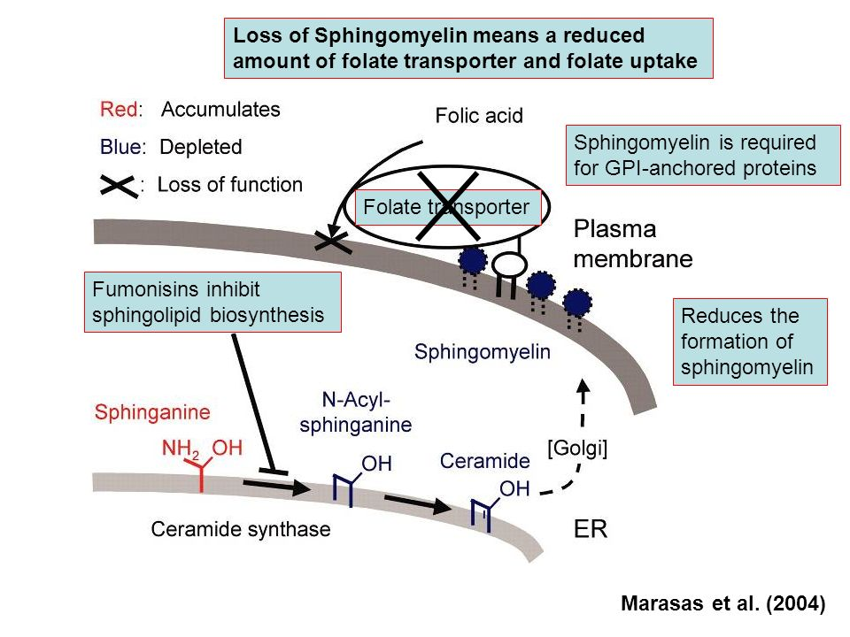 Fumonisins inhibit sphingolipid biosynthesis Reduces the formation of sphingomyelin Sphingomyelin is required for GPI-anchored proteins Folate transpo
