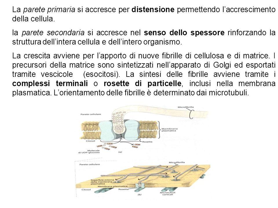 La parete primaria si accresce per distensione permettendo laccrescimento della cellula. la parete secondaria si accresce nel senso dello spessore rin