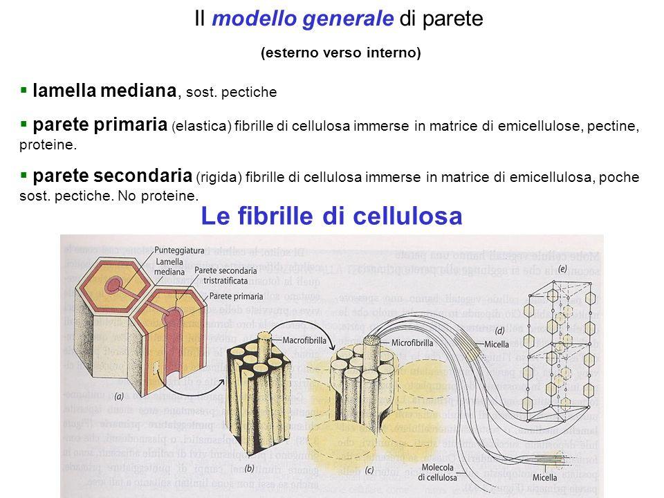 Il modello generale di parete (esterno verso interno) lamella mediana, sost. pectiche parete primaria ( elastica) fibrille di cellulosa immerse in mat