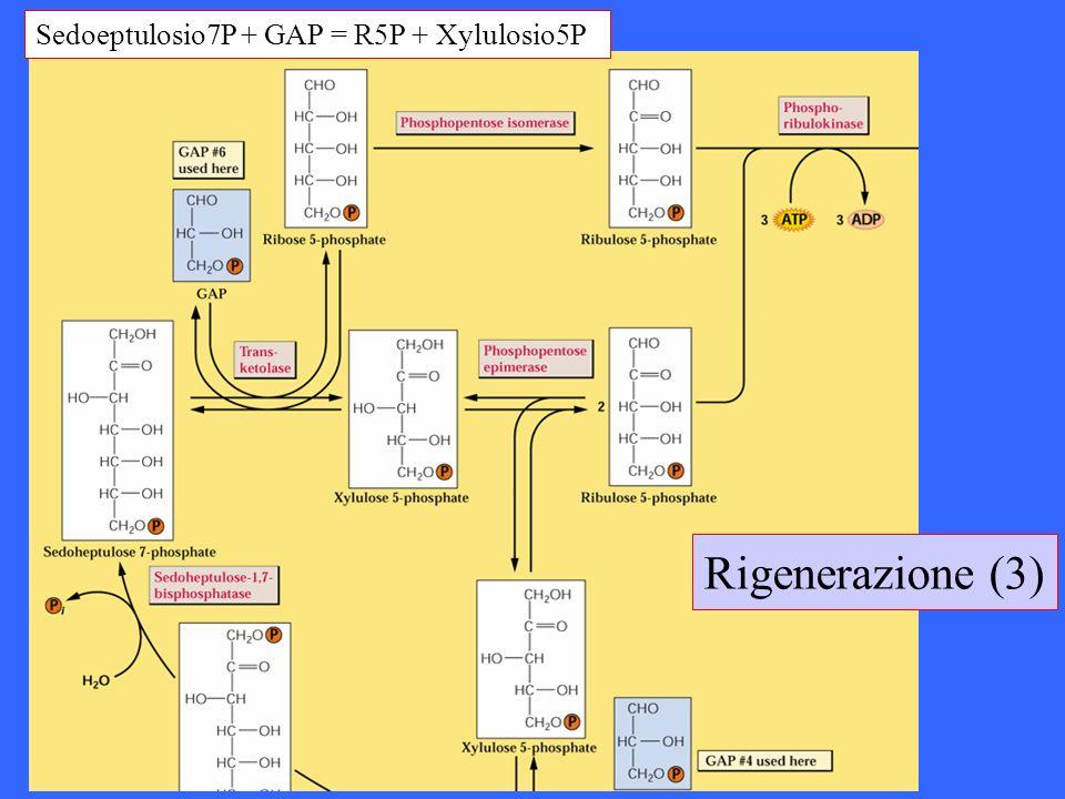 Rigenerazione (3) Sedoeptulosio7P + GAP = R5P + Xylulosio5P