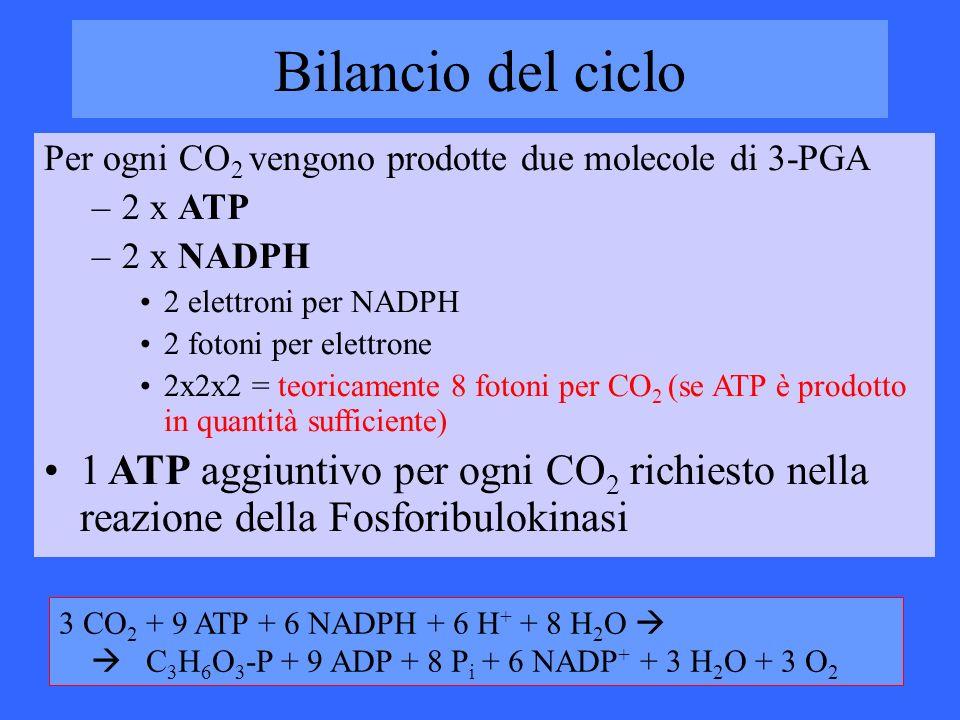 Bilancio del ciclo Per ogni CO 2 vengono prodotte due molecole di 3-PGA –2 x ATP –2 x NADPH 2 elettroni per NADPH 2 fotoni per elettrone 2x2x2 = teori