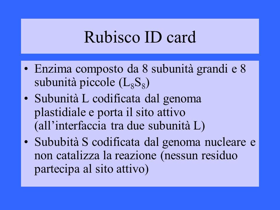 Rubisco ID card Enzima composto da 8 subunità grandi e 8 subunità piccole (L 8 S 8 ) Subunità L codificata dal genoma plastidiale e porta il sito atti