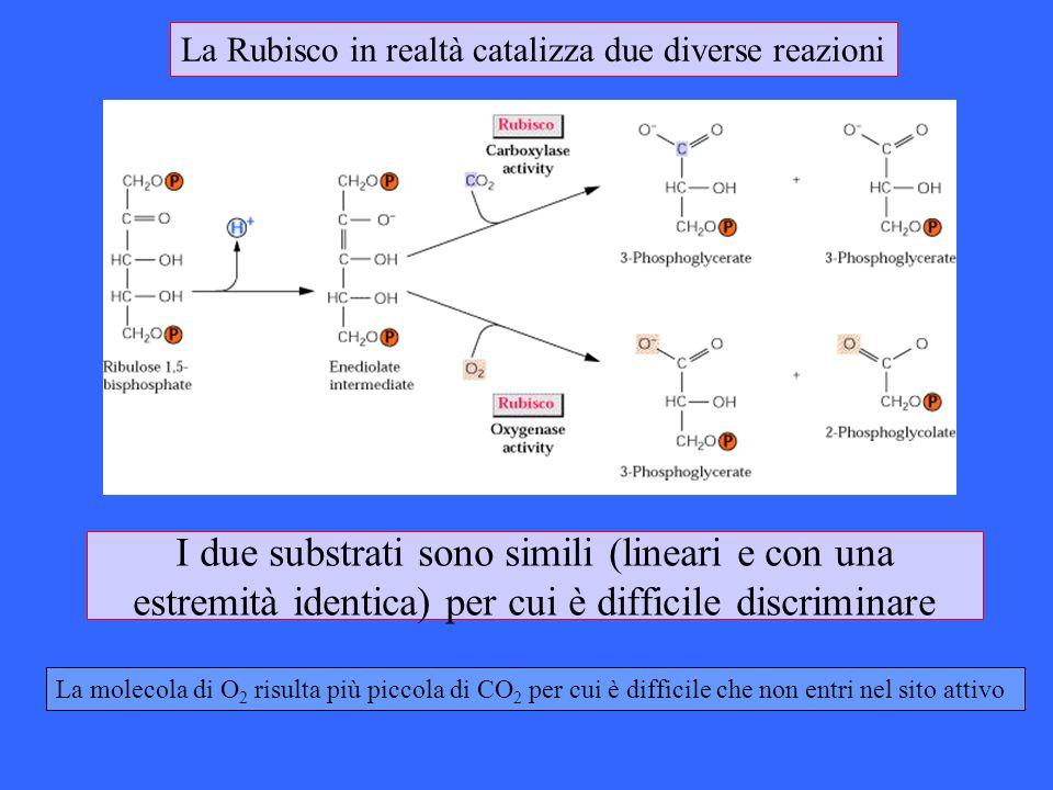 I due substrati sono simili (lineari e con una estremità identica) per cui è difficile discriminare La molecola di O 2 risulta più piccola di CO 2 per