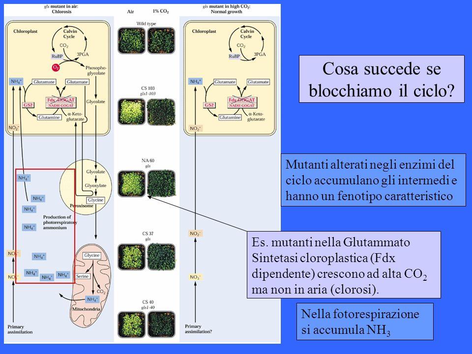 Cosa succede se blocchiamo il ciclo? Es. mutanti nella Glutammato Sintetasi cloroplastica (Fdx dipendente) crescono ad alta CO 2 ma non in aria (cloro