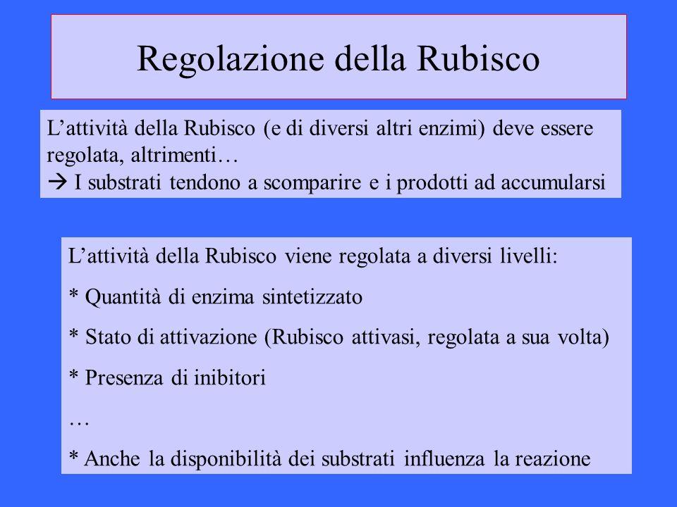 Regolazione della Rubisco Lattività della Rubisco viene regolata a diversi livelli: * Quantità di enzima sintetizzato * Stato di attivazione (Rubisco