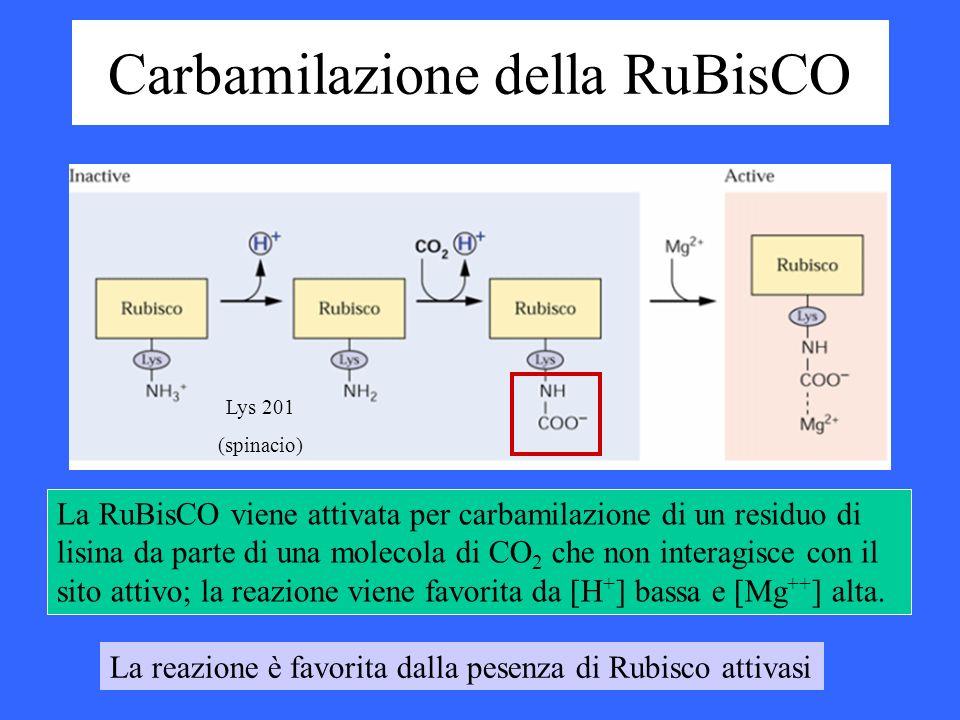 Carbamilazione della RuBisCO La RuBisCO viene attivata per carbamilazione di un residuo di lisina da parte di una molecola di CO 2 che non interagisce