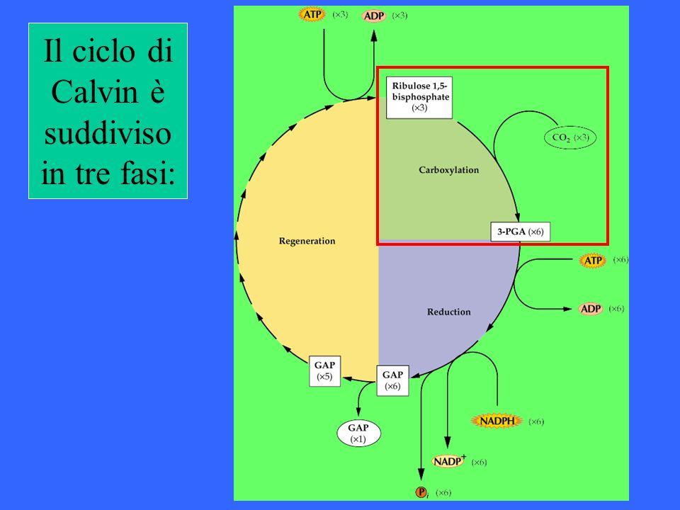 Il ciclo di Calvin è suddiviso in tre fasi: