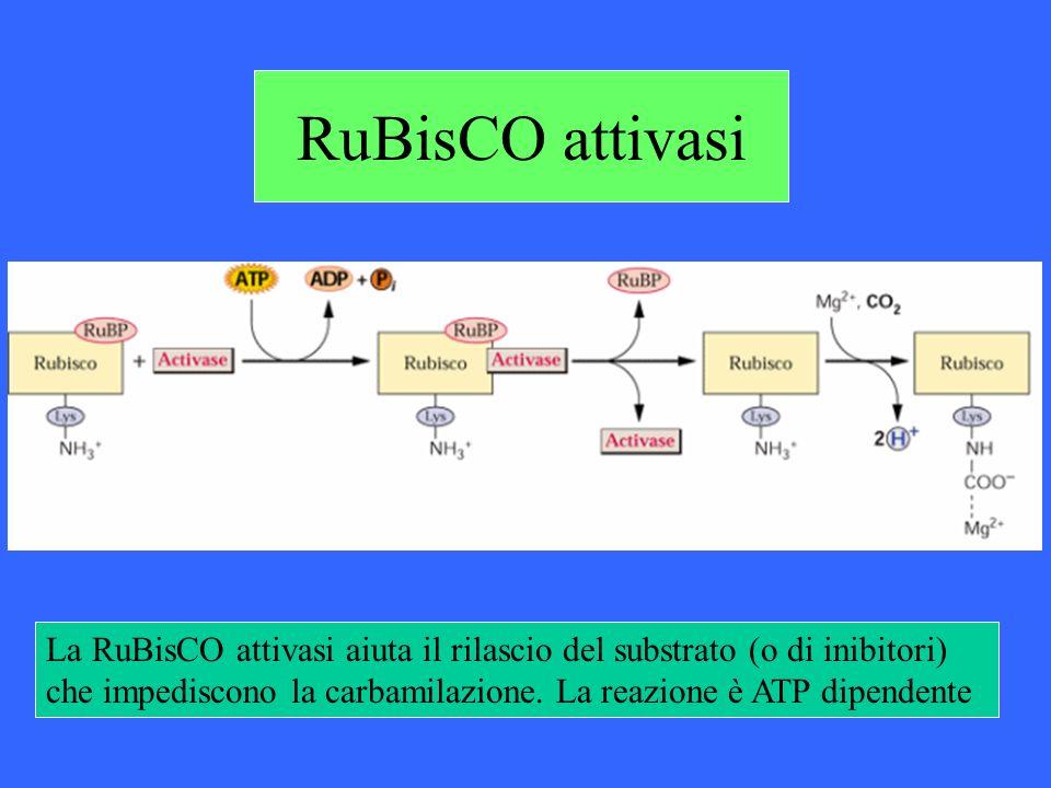 RuBisCO attivasi La RuBisCO attivasi aiuta il rilascio del substrato (o di inibitori) che impediscono la carbamilazione. La reazione è ATP dipendente