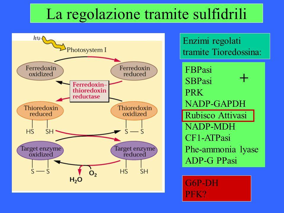 La regolazione tramite sulfidrili Enzimi regolati tramite Tioredossina: FBPasi SBPasi PRK NADP-GAPDH Rubisco Attivasi NADP-MDH CF1-ATPasi Phe-ammonia