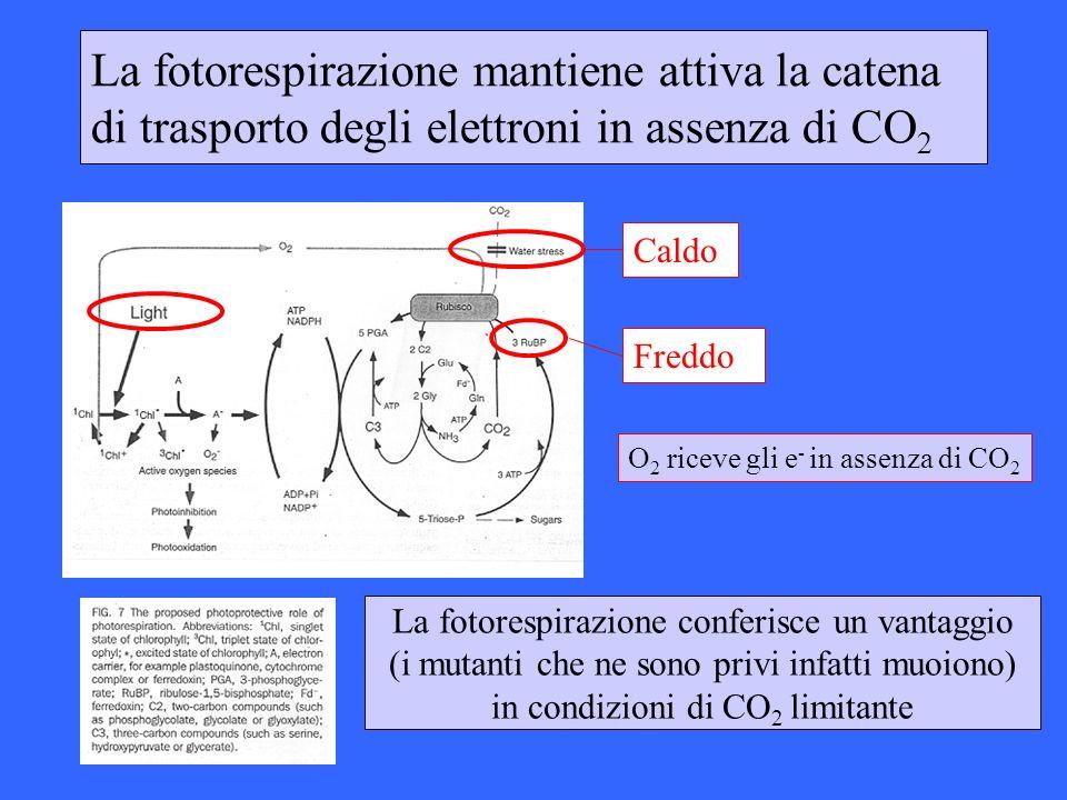 La fotorespirazione conferisce un vantaggio (i mutanti che ne sono privi infatti muoiono) in condizioni di CO 2 limitante FreddoCaldo La fotorespirazi