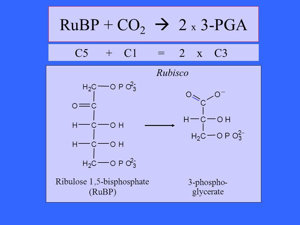 RuBP + CO 2 2 x 3-PGA Ribulose 1,5-bisphosphate (RuBP) OH H 2 C CH C C OHH H 2 COPO 3 2- OPO 3 2- O OH H 2 C CH C OO OPO 3 2 3-phospho- glycerate Rubi