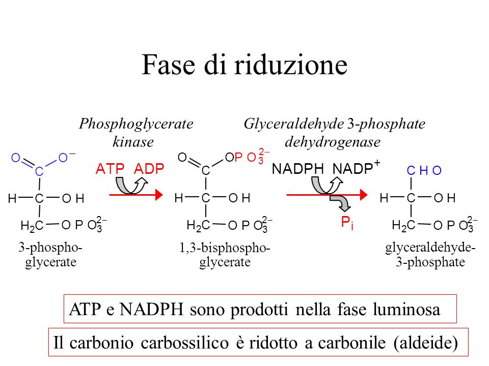 Fase di riduzione OH H 2 C CH C OO OPO 3 2 OH H 2 C CH C OPO 3 2 O OPO 3 2 OH H 2 C CH CHO OPO 3 2 ATP ADPNADPH NADP + P i 1,3-bisphospho- glycerate 3