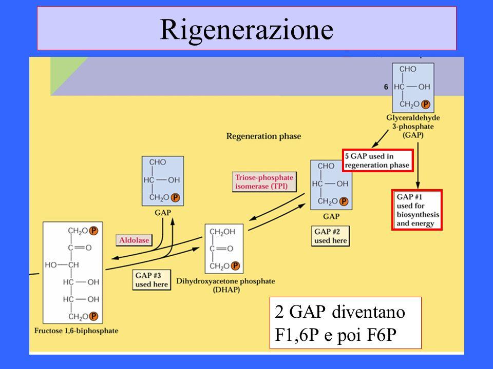 Rigenerazione 2 GAP diventano F1,6P e poi F6P