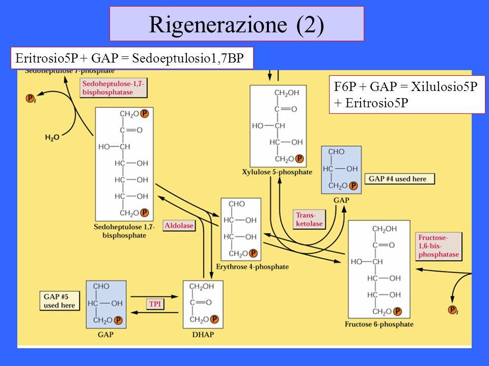 Rigenerazione (2) F6P + GAP = Xilulosio5P + Eritrosio5P Eritrosio5P + GAP = Sedoeptulosio1,7BP