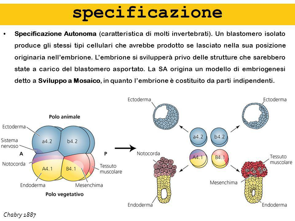 Non solo il Gradiente Morfogenetico (una molecola diffusibile agisce secondo un gradiente di concentrazione) può spiegare il differenziamento cellulare a seguito dellesposizione alla fonte di activina.