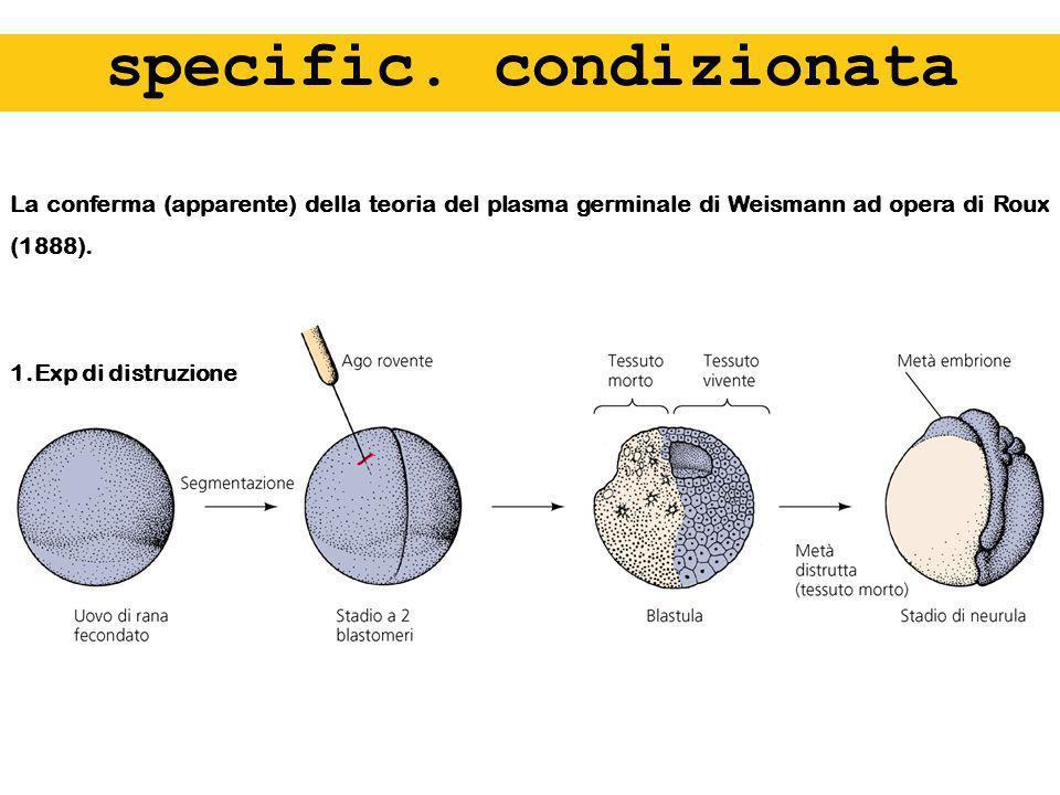 specific. condizionata La conferma (apparente) della teoria del plasma germinale di Weismann ad opera di Roux (1888). 1.Exp di distruzione