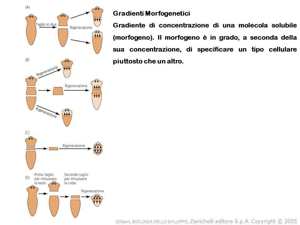 Gilbert, BIOLOGIA DELLO SVILUPPO, Zanichelli editore S.p.A. Copyright © 2005 Gradienti Morfogenetici Gradiente di concentrazione di una molecola solub