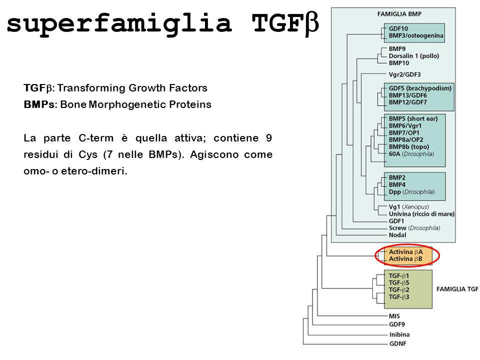 superfamiglia TGF TGF : Transforming Growth Factors BMPs: Bone Morphogenetic Proteins La parte C-term è quella attiva; contiene 9 residui di Cys (7 ne