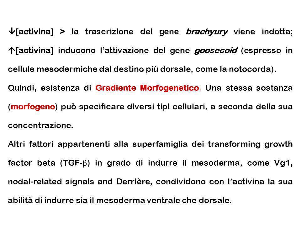 [activina] > la trascrizione del gene brachyury viene indotta; [activina] inducono lattivazione del gene goosecoid (espresso in cellule mesodermiche d