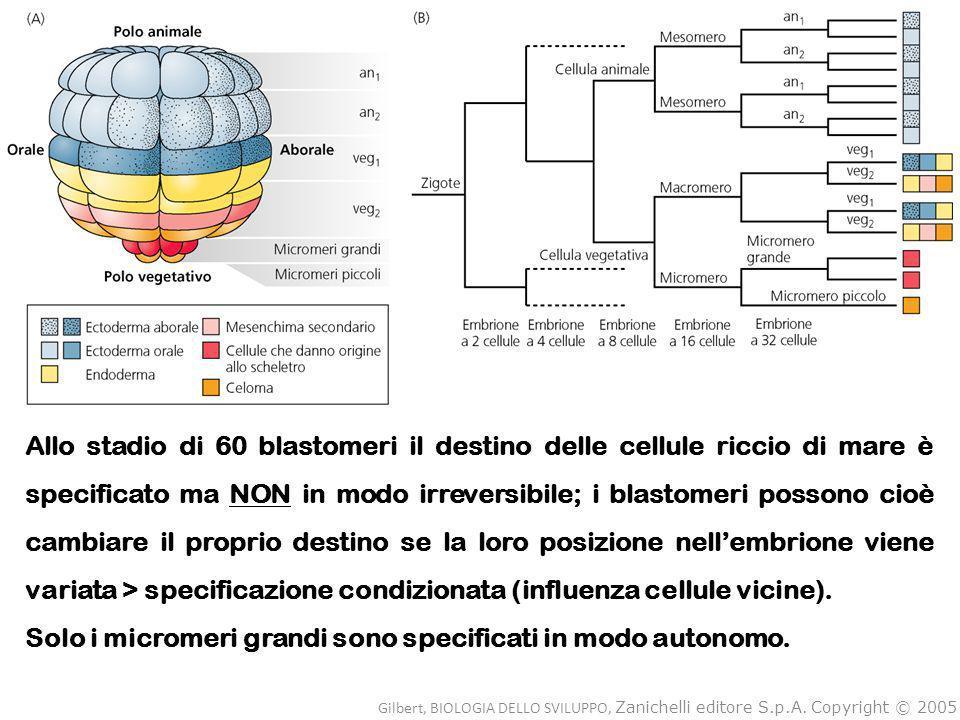 Allo stadio di 60 blastomeri il destino delle cellule riccio di mare è specificato ma NON in modo irreversibile; i blastomeri possono cioè cambiare il