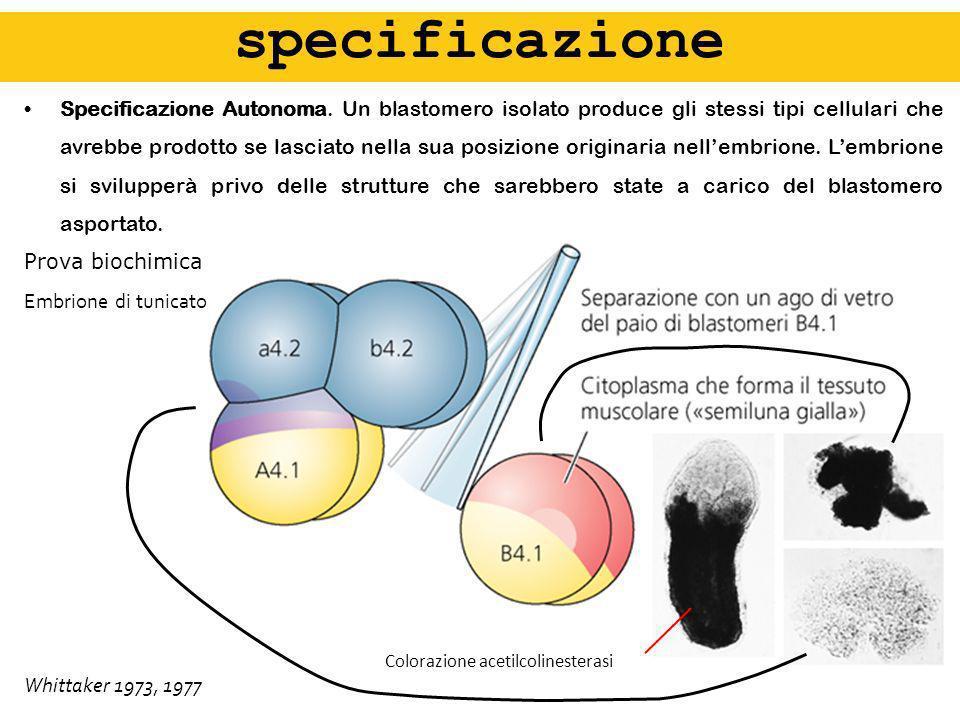 Specificazione Autonoma. Un blastomero isolato produce gli stessi tipi cellulari che avrebbe prodotto se lasciato nella sua posizione originaria nelle