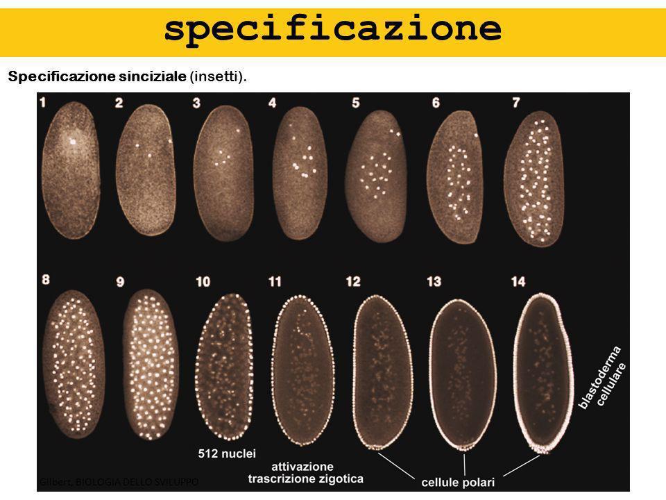 Specificazione sinciziale (insetti). specificazione Gilbert, BIOLOGIA DELLO SVILUPPO