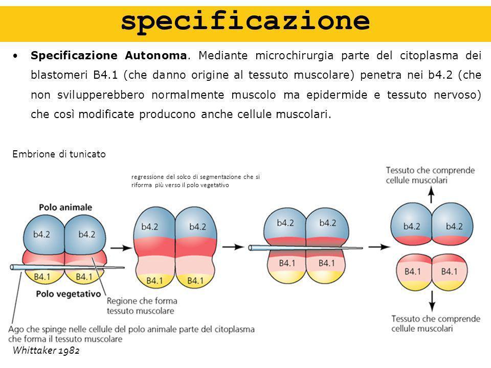 Specificazione Autonoma. Mediante microchirurgia parte del citoplasma dei blastomeri B4.1 (che danno origine al tessuto muscolare) penetra nei b4.2 (c