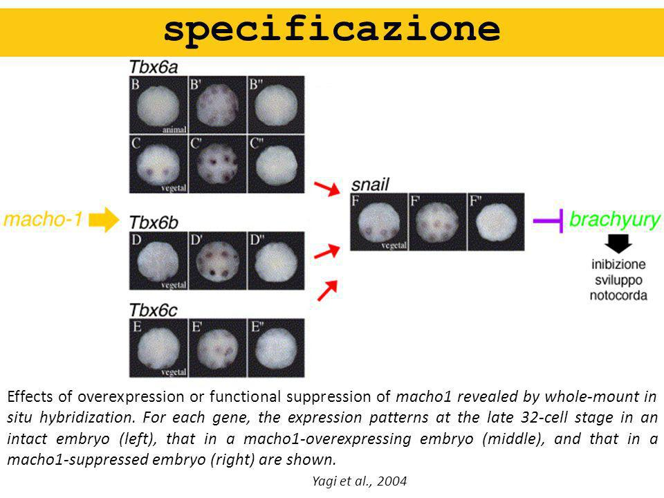 specificazione Effects of overexpression or functional suppression of macho1 revealed by whole-mount in situ hybridization. For each gene, the express