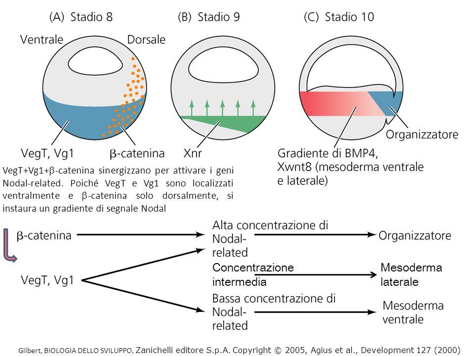 Gilbert, BIOLOGIA DELLO SVILUPPO, Zanichelli editore S.p.A. Copyright © 2005, Agius et al., Development 127 (2000) VegT+Vg1+ -catenina sinergizzano pe