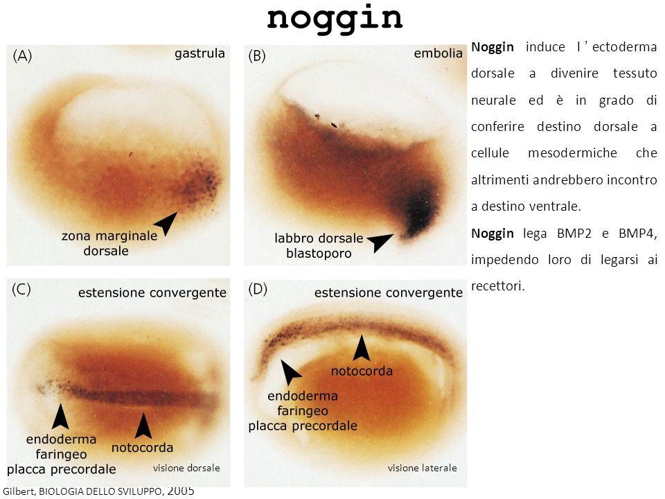 Gilbert, BIOLOGIA DELLO SVILUPPO, 2005 Noggin induce lectoderma dorsale a divenire tessuto neurale ed è in grado di conferire destino dorsale a cellul