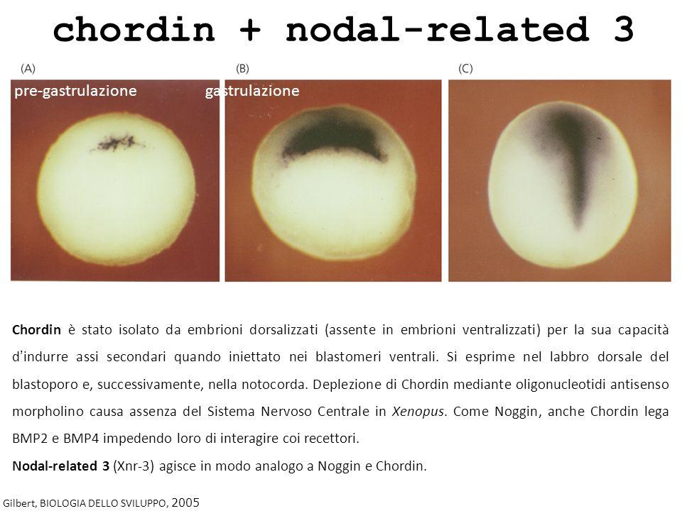 chordin + nodal-related 3 Gilbert, BIOLOGIA DELLO SVILUPPO, 2005 Chordin è stato isolato da embrioni dorsalizzati (assente in embrioni ventralizzati)
