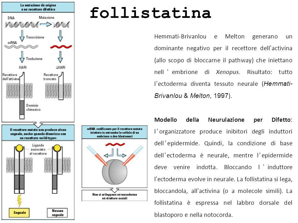 follistatina Hemmati-Brivanlou e Melton generano un dominante negativo per il recettore dellactivina (allo scopo di bloccarne il pathway) che iniettan