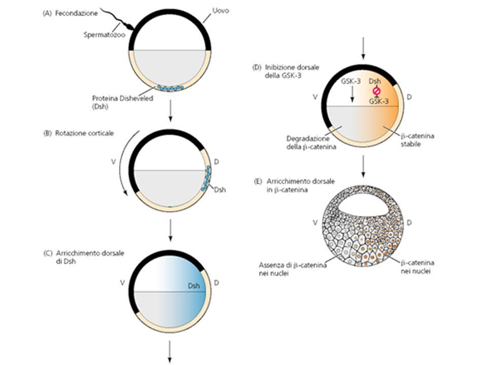Il labbro dorsale di tritone induce strutture neurali nel tessuto ectodermico.